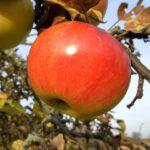 Három almás mese